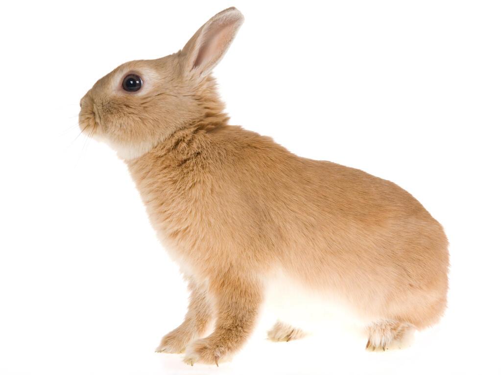 Netherland Dwarf For Sale   Rabbits   Breed Information ...