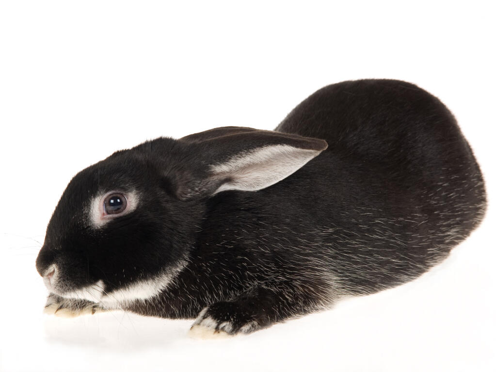 Silver Fox For Sale Rabbits Breed Information Omlet