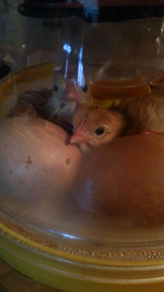 my RIR chicks hatching today-3 of 6