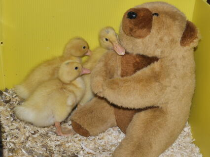 These ducks hatched the same time as Princess Charlotte was born, Hence 1 of the Ducks is called Princess Charlotte and the Drake Prince George