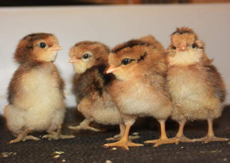 Araucana pictures, video, information and chicks.