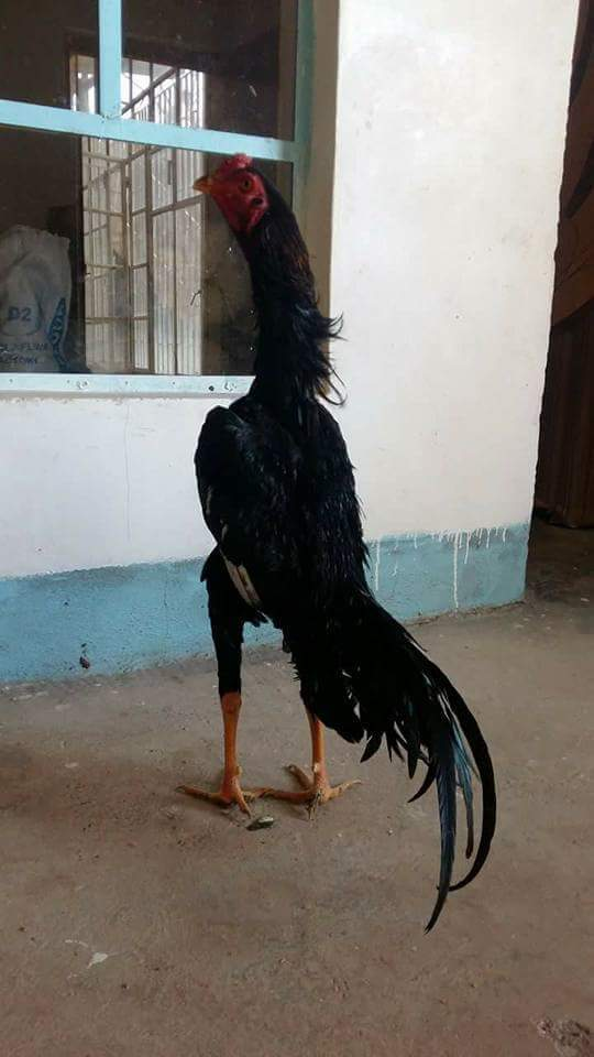 Malay For Sale | Chickens | Breed Information | Omlet