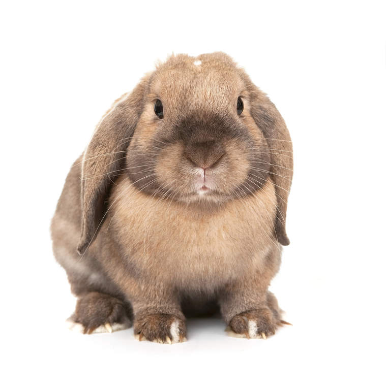 Dwarf Lop For Sale Rabbits Breed Information Omlet
