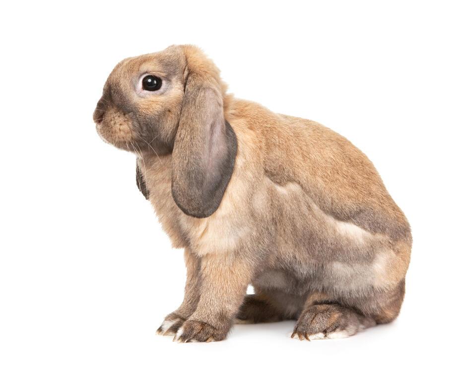 Dwarf lop rabbits - photo#47