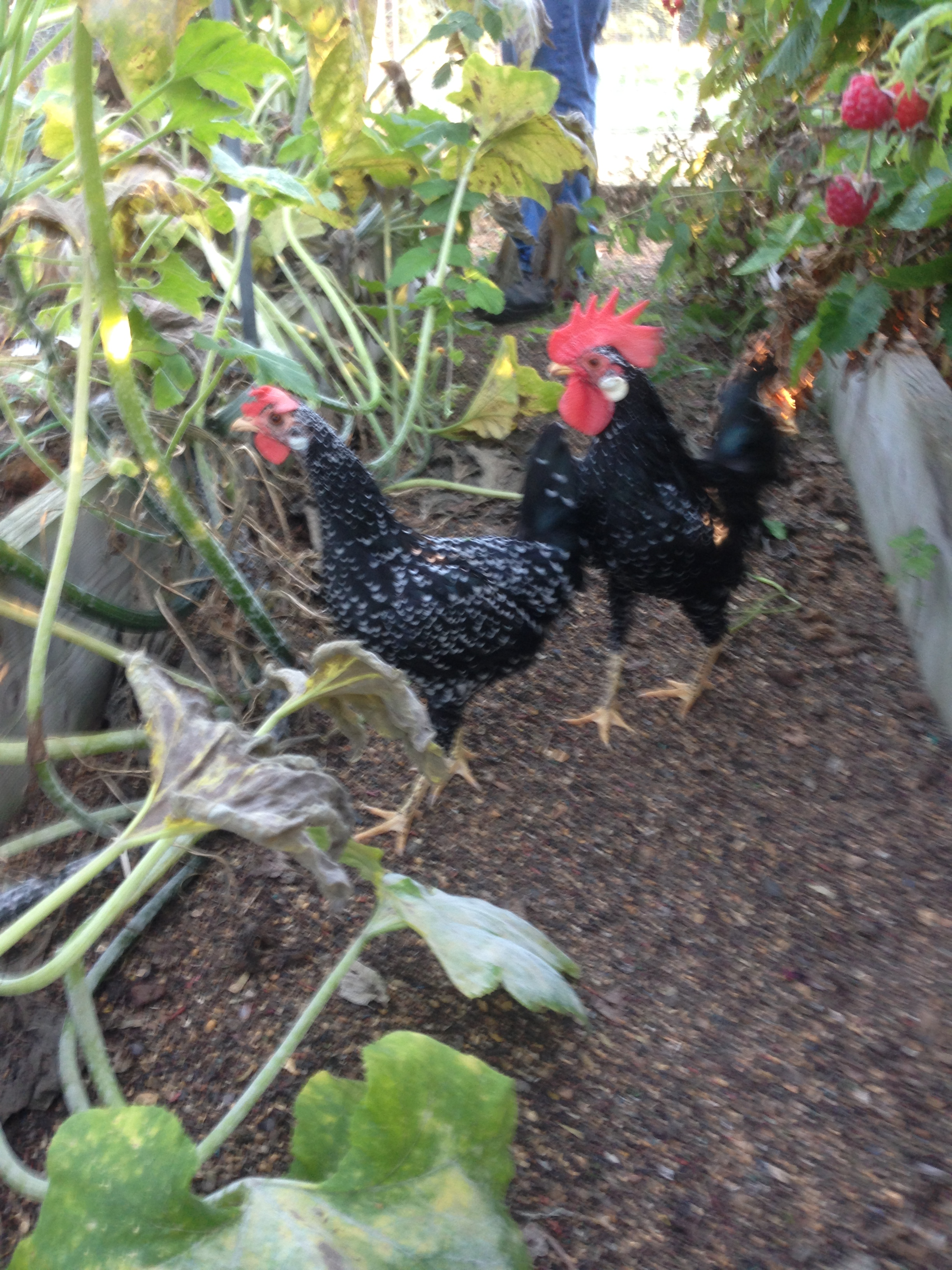 Ancona For Sale Chickens Breed Information Omlet